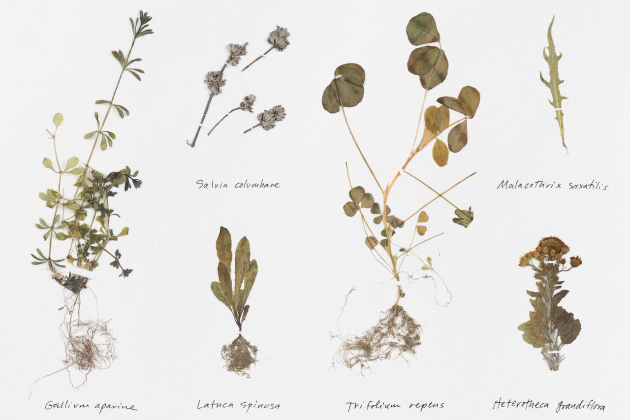 Tom Kracauer Sun + Soil Herbarium